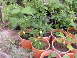 gardenJuly09 010