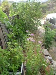 gardenJuly09 028