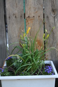a yellow daylily and some lobelia